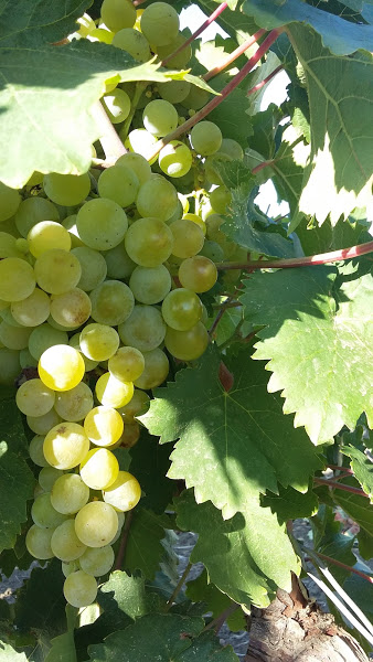 grillo uva2